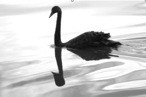 swanflip